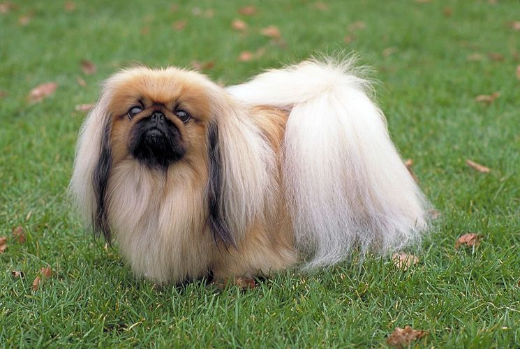 pekingese-pekingese-dog-in-the-grass-breed-usadbamasterov