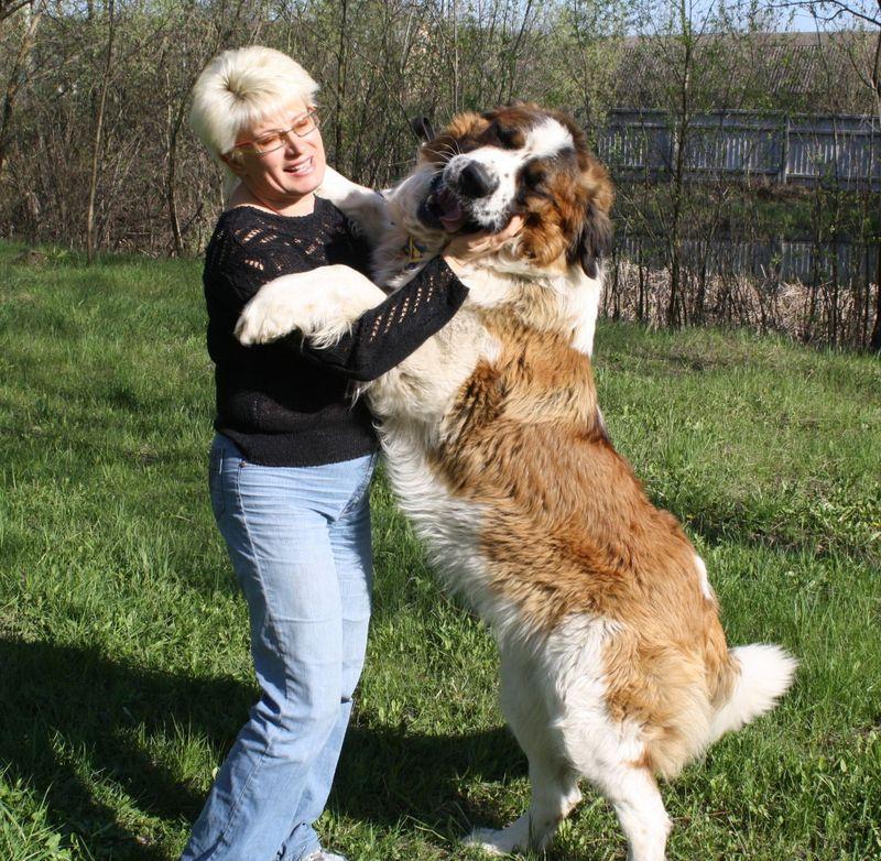 уход-за-московской-сторожевой-собакой