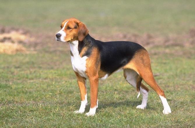 гончая собака русская пегая