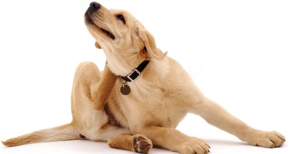 как-вывести-блох-у-собак
