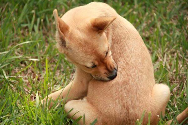 как-избавиться-от-блох-у-собак-усадьба-мастеров